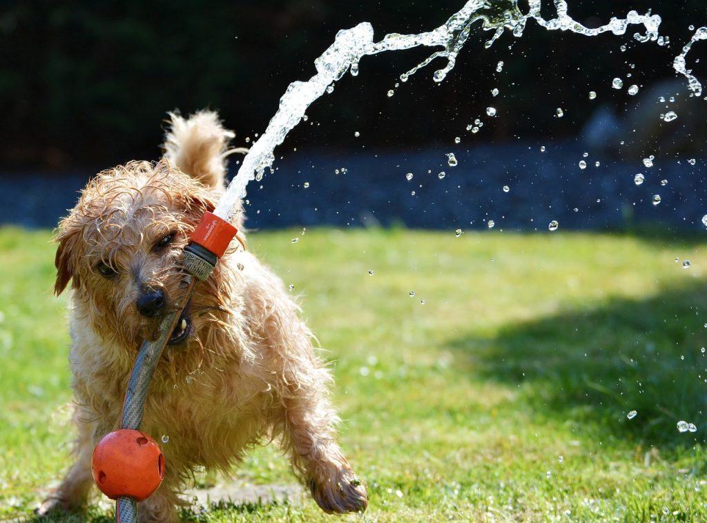 Pes si hraje se zavlažovacím systémem